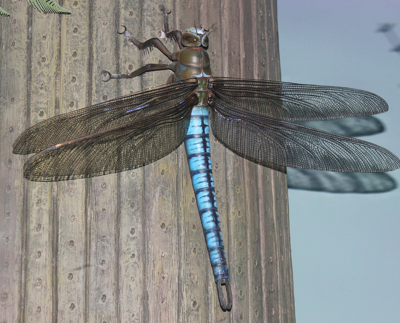 Giant griffinfly